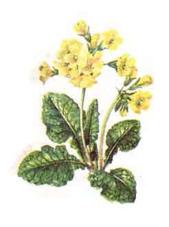 Imagine cu planta: Ciubotica - Cucului (Primula officinalis - P. veris)