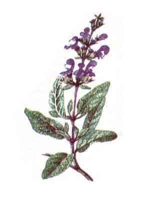 Imagine cu planta: SALVIA, JALESUL (Salvia officinalis)